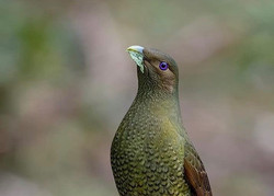 Young male Satin Bowerbird
