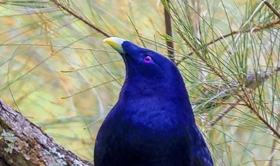 Male Satin Bower Bird_edited