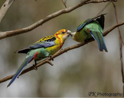 Natural cross Eastern Rosella and Pale H