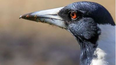 Australian Magpie (we call Bob)_edited