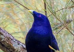 Male Satin Bower Bird