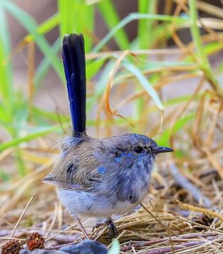 Fairy-Wren_edited