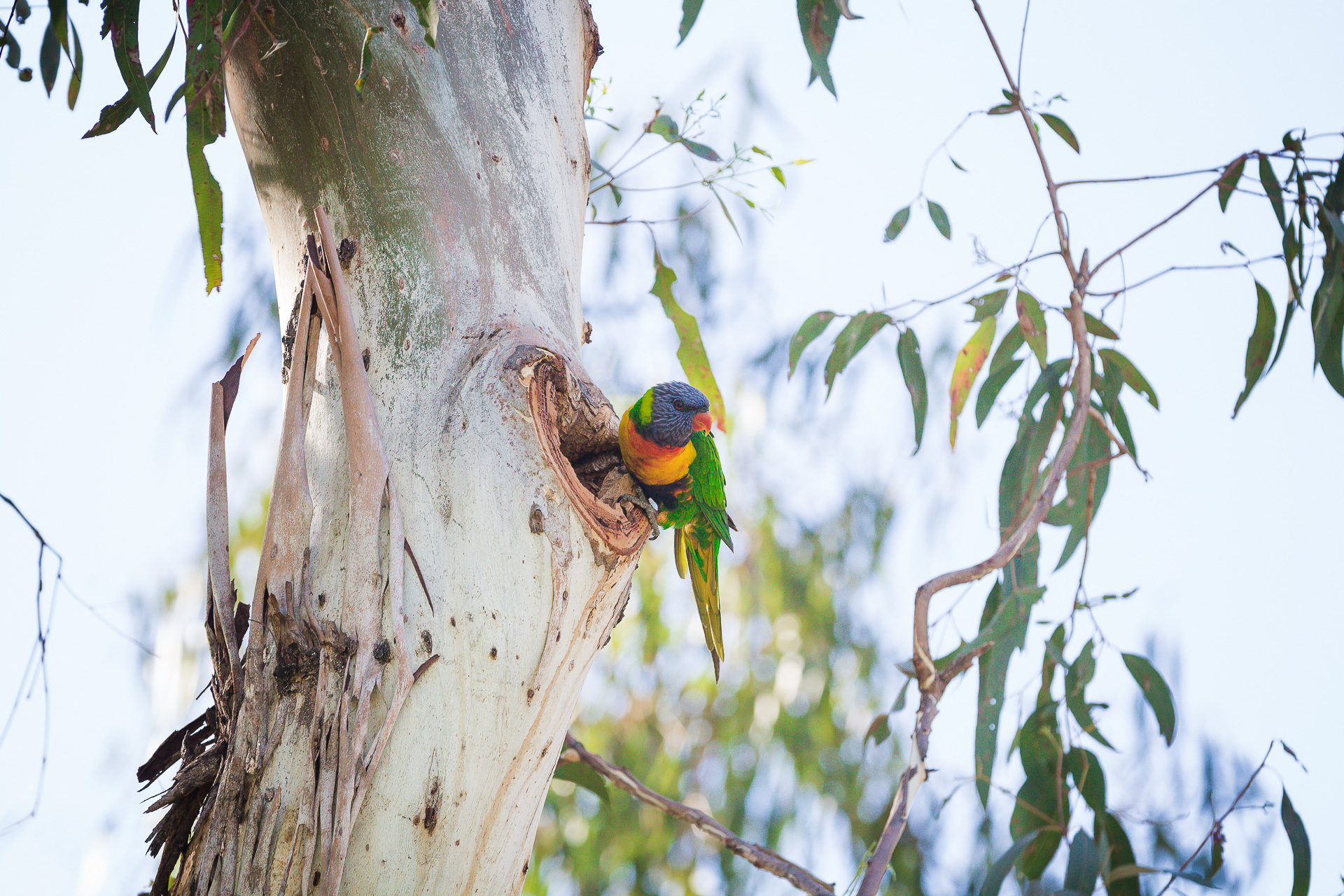 KW - Rainbow Lorikeet