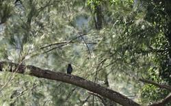 AZ - Dollarbird