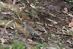 AZ - Common bronzewing