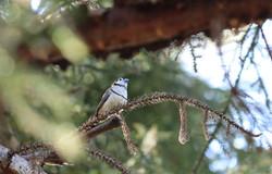 AZ - Double-barred finch