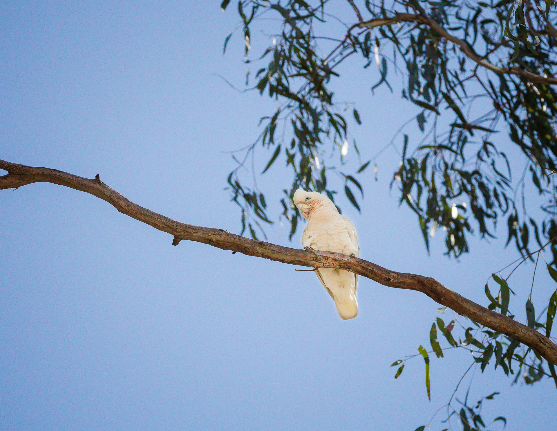 KW - Little Corella