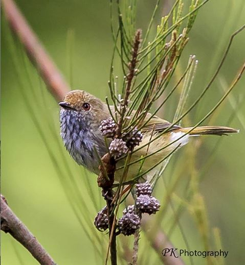 Brown Thornbill2