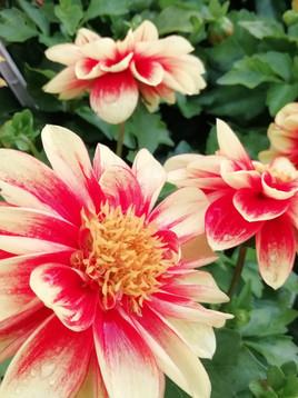 Dahlias add excellent colour to every garden.