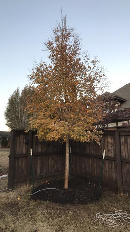 Caddo Maple