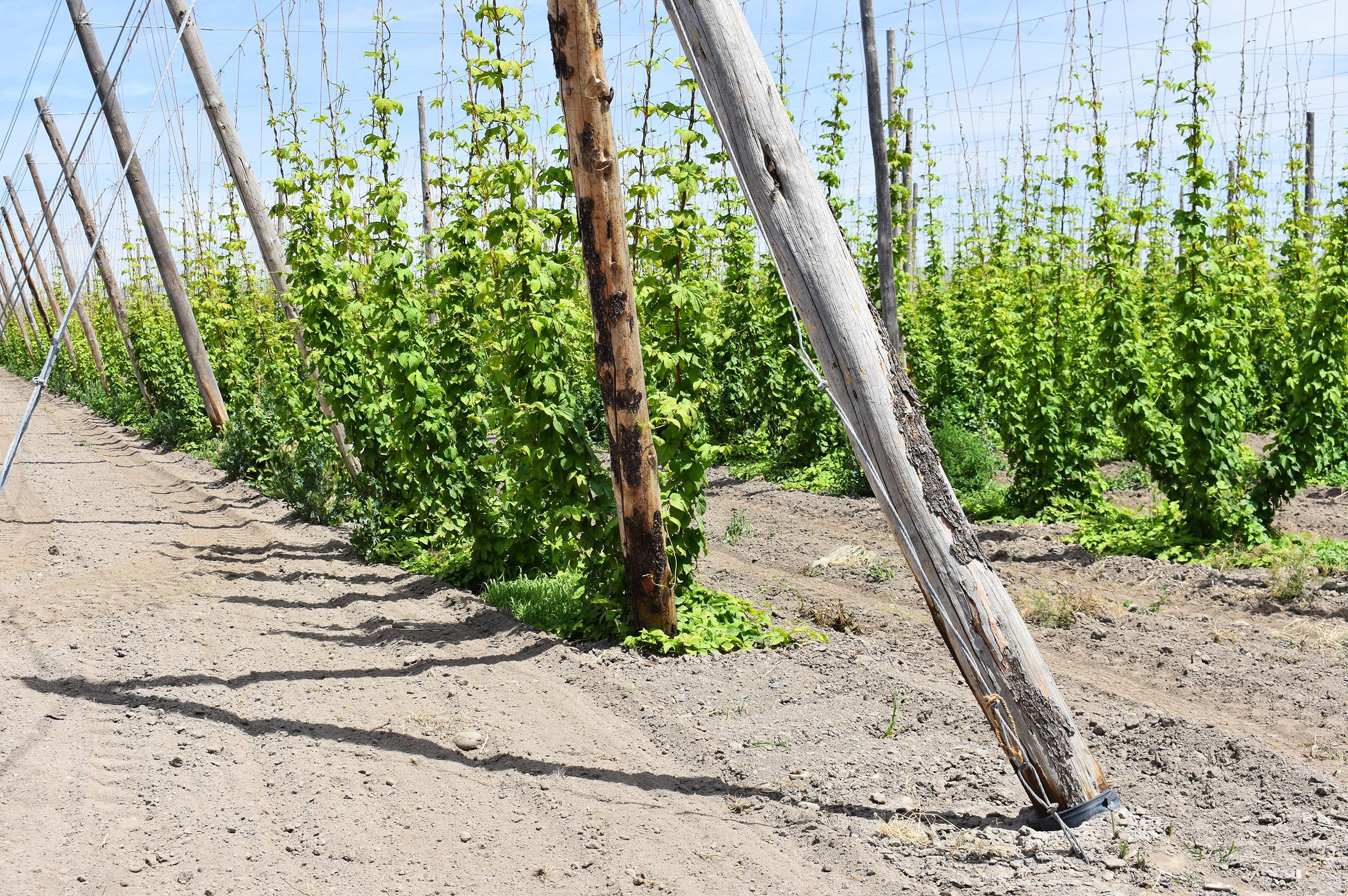 old rotbloc hops