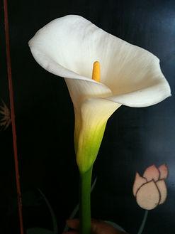 calla lily 2.jpg