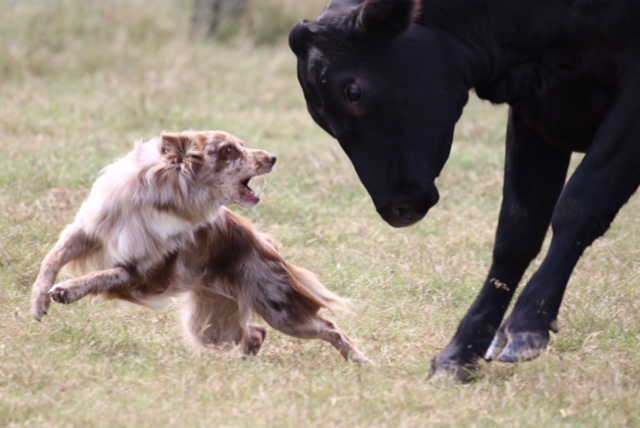 Hurri cattle