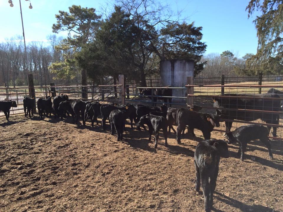 calves 1-2015