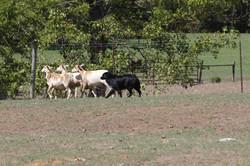 patton sheep
