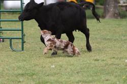 Hurri cattle left
