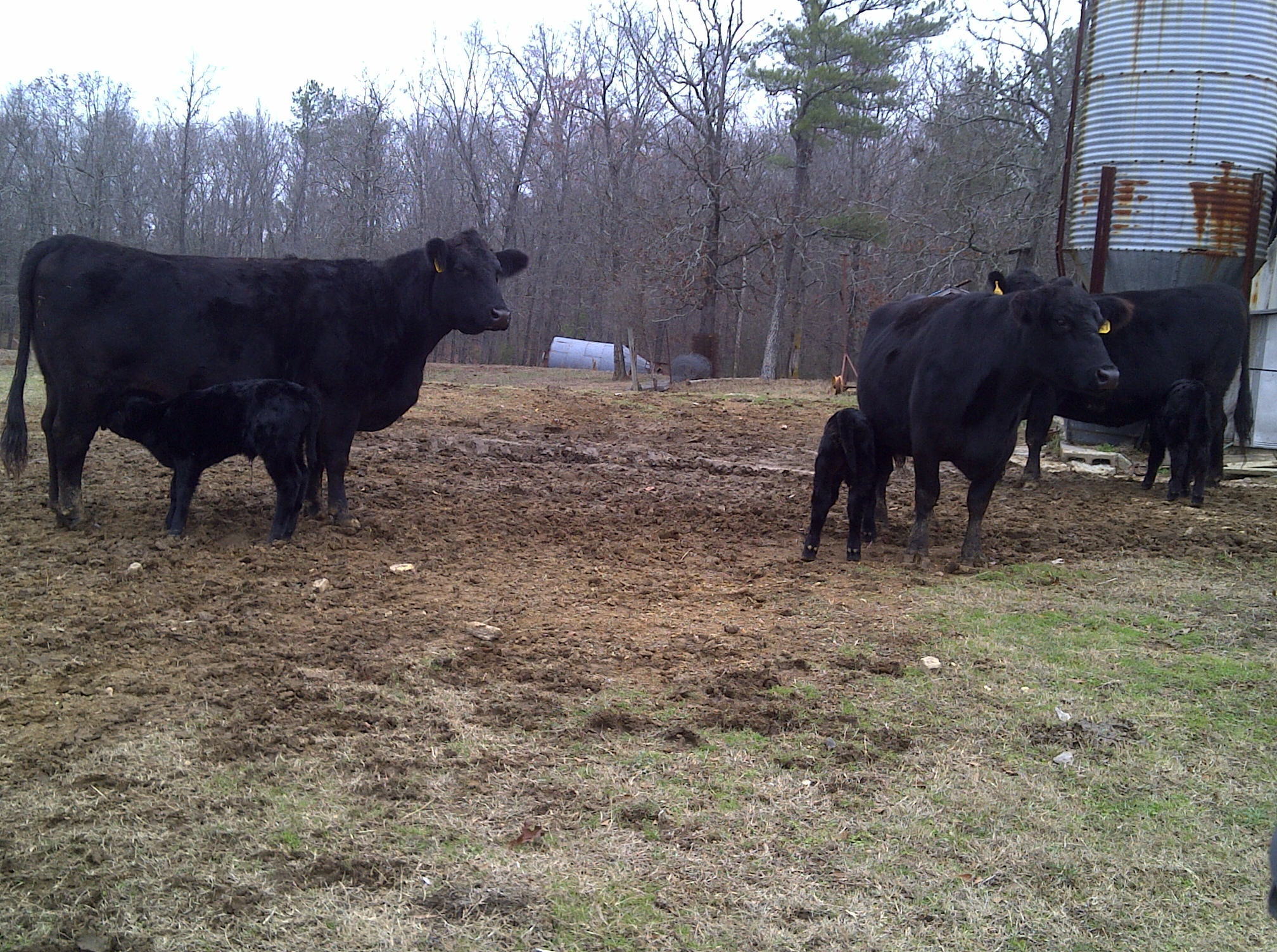 Cows calves 12w
