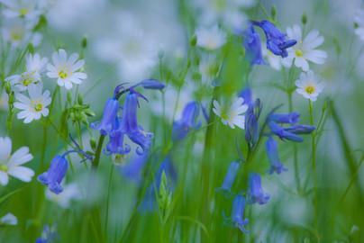Bluebells & Field Stitchwort.jpg