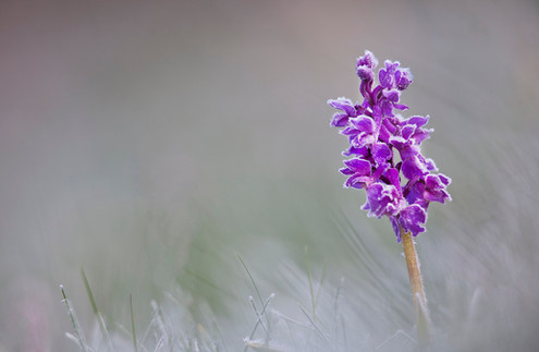 Early-purple orchid, Orchis mascula