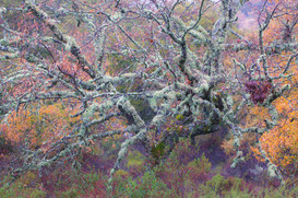 Lichen encrusted tree and autumnal foliage