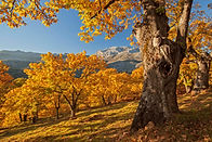 Spain - Castanea forest Genal Valley.jpg