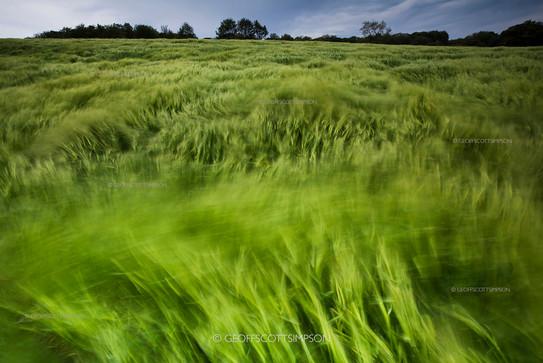 Wind blown barley field