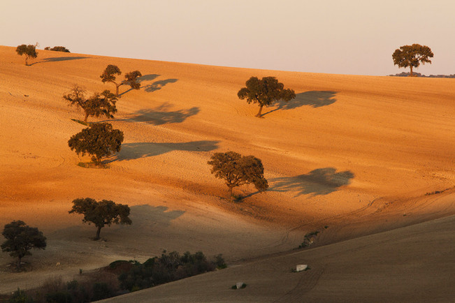 Cork oaks alongside the Ronda to Seville road.