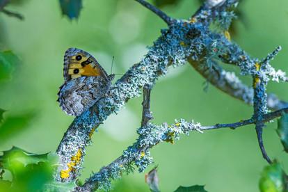 Tree Grayling, Neohipparchia statilinus