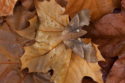 Oak hawk-moth, Marumba quercus