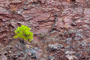 Young fir tree growing from slate/mica embankment