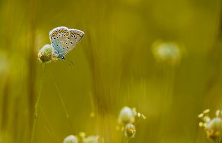 Adonis blue, Polyommatus bellargus