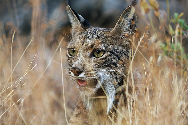 Iberina lynx.jpg