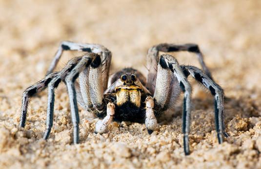 Wolf Spider, Hogna radiata