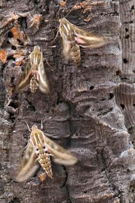 Striped hawk-moths, Hyles livornica