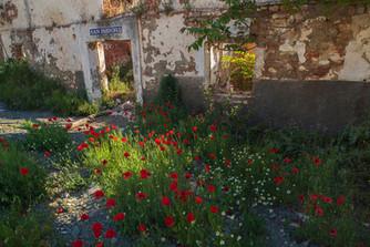 San Isodora poppies
