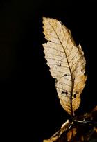 Backlit decomposing Castanea leaf