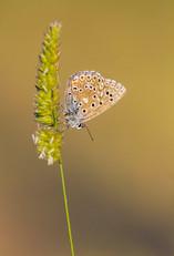Female Provence Chalkhill Blue, Lysandra hispana