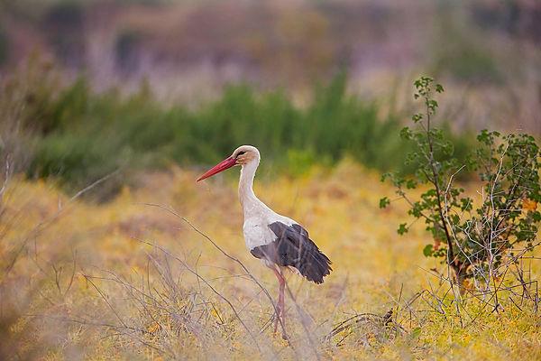 wix White stork, ria formosa, Algarve, P