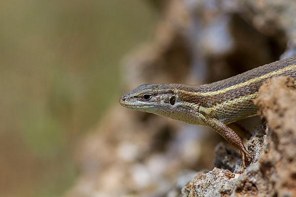 wix P lizard.jpg