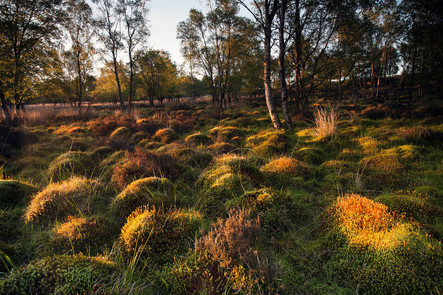 Polytrichume mounds, Hair cup moss