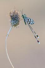 Threadwing antlion, Nemoptera bipennis