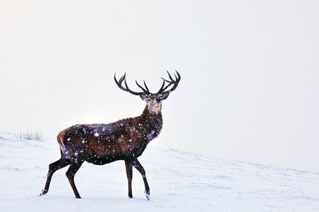 The Proud Stag