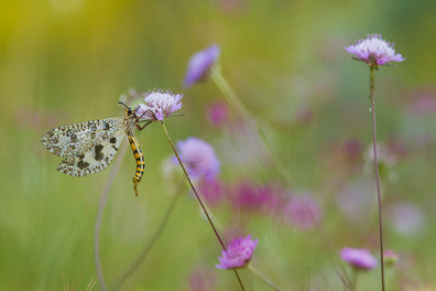 Antlion, Palpares libelluloides