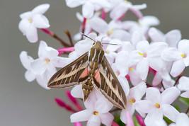 Striped hawk-moth, Hyles livornica