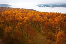 Birch woodland in autumn