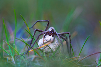 Wolf spider, Alopecosa pulverulenta with egg-case