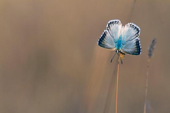 Provence Chalkhill Blue, Lysandra hispana (male)