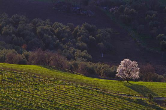 Almond tree in blossom, Prunus dulcis