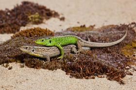 Mating sand lizards, Lacerta agilis (Northern race)