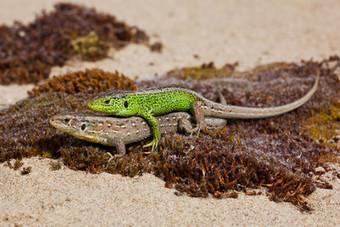Mating sand lizards, Lacerta agilis (Northern race)